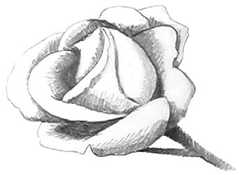 drawing roses step 4